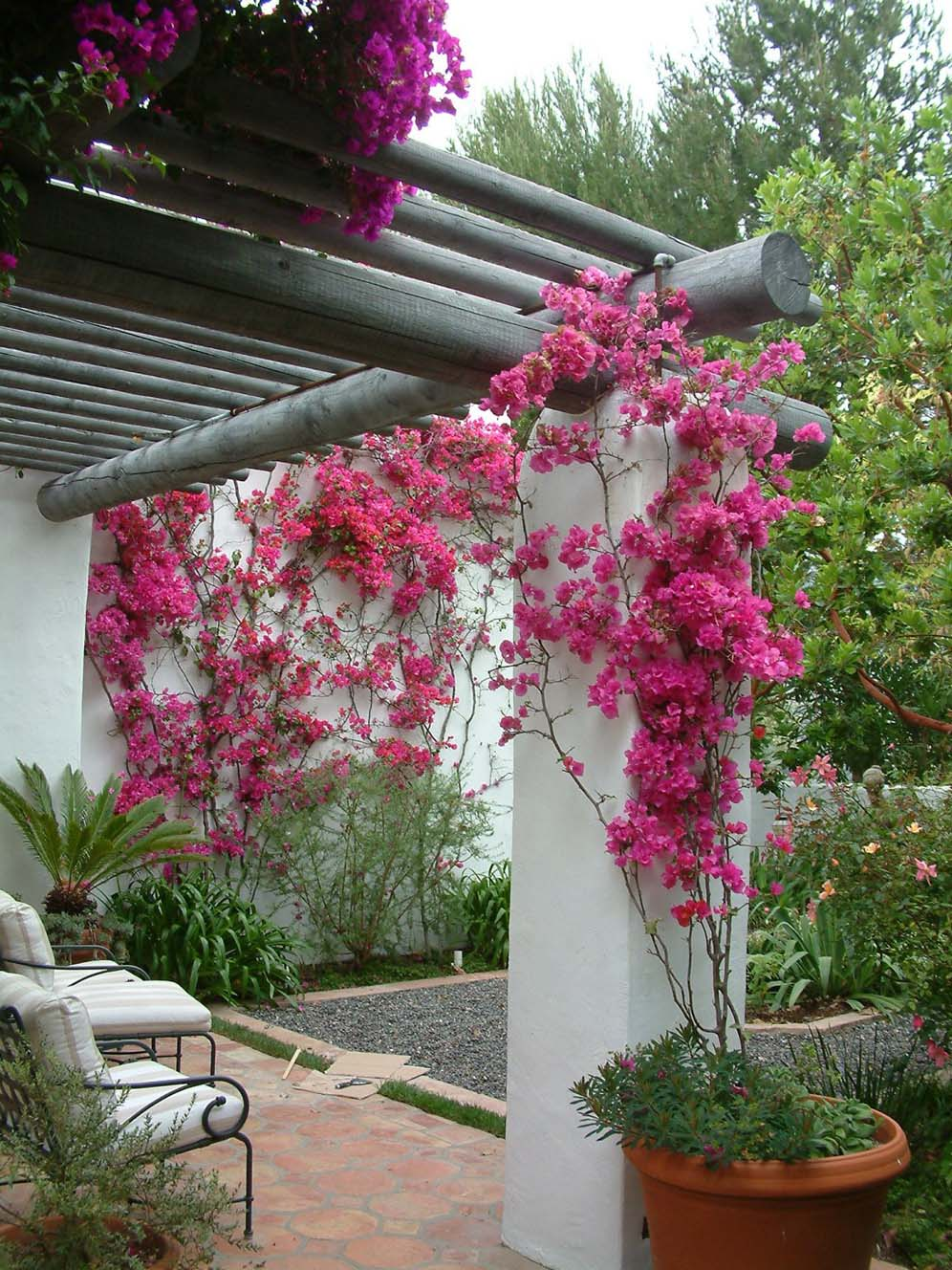 Bougainvillea Beauties
